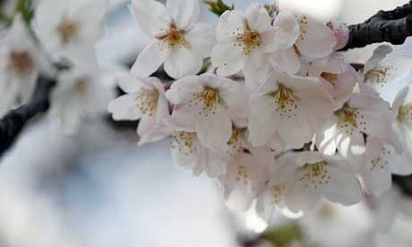 A Member Cherry Blossoms Toggle Already Bolts Dating Asian