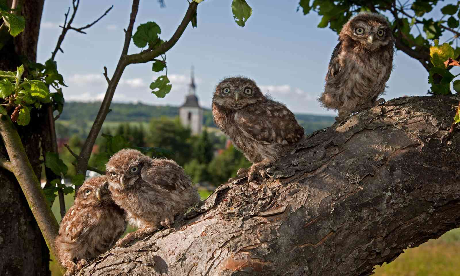 Little owls in Bliesgau (German National Tourist Board)