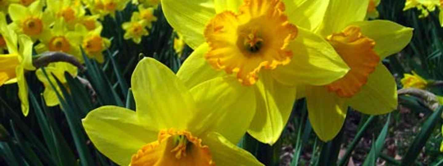 St David's Day worldwide: bring your own daffodils (delayedneutron)