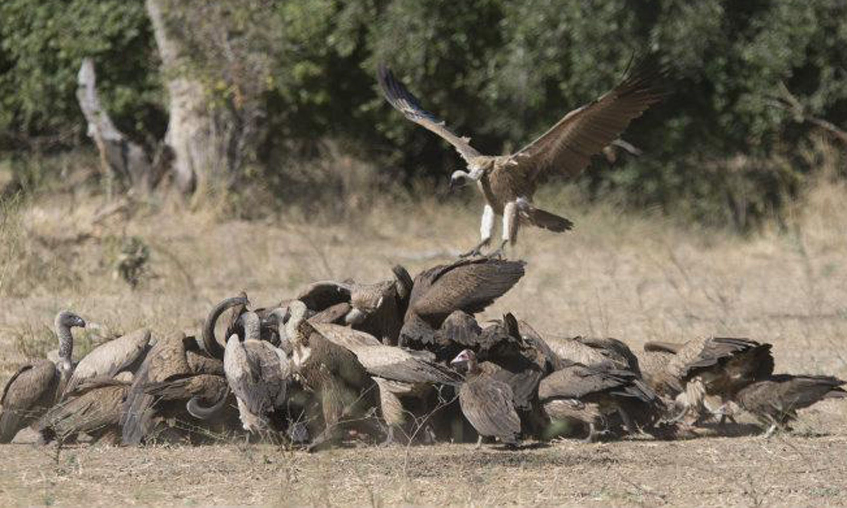 Vultures feeding on a kudu carcass (Edwina Cagol)