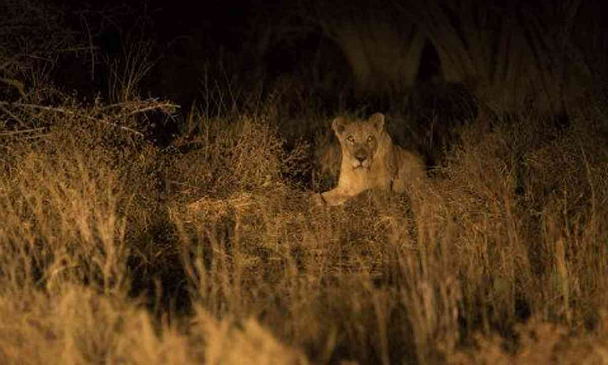 The lioness behind the shower block, Mana Pools (Edwina Cagol)