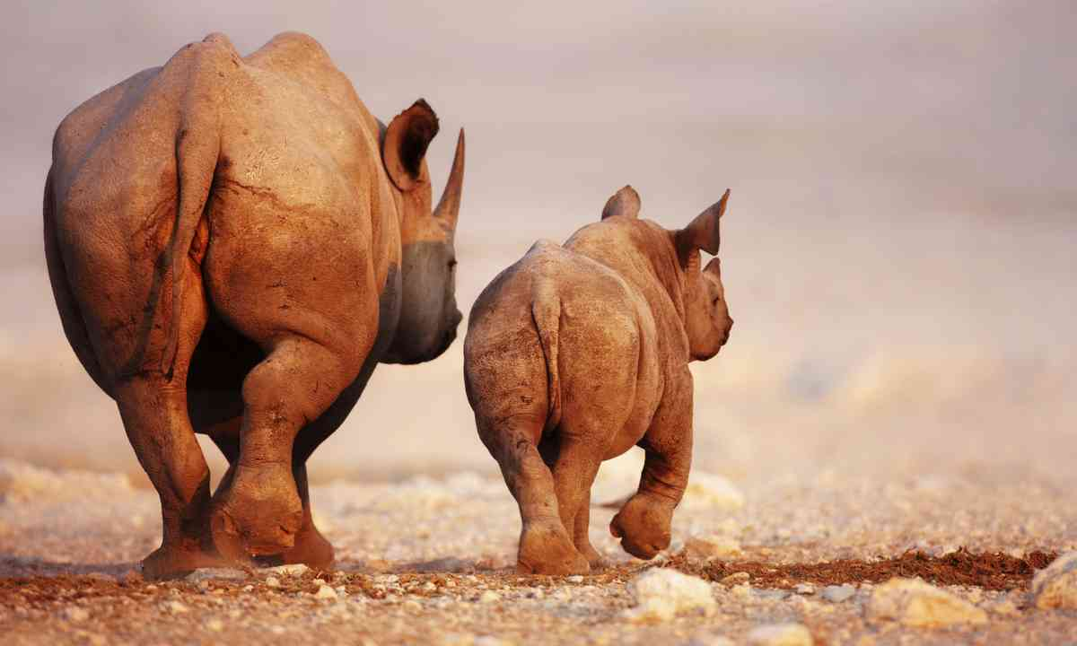 Black Rhino and calf, Namibia (Dreamstime)