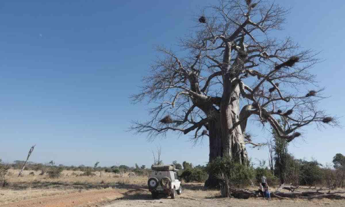 The big baobab in South Luangwa National Park (Edwina Cagol)