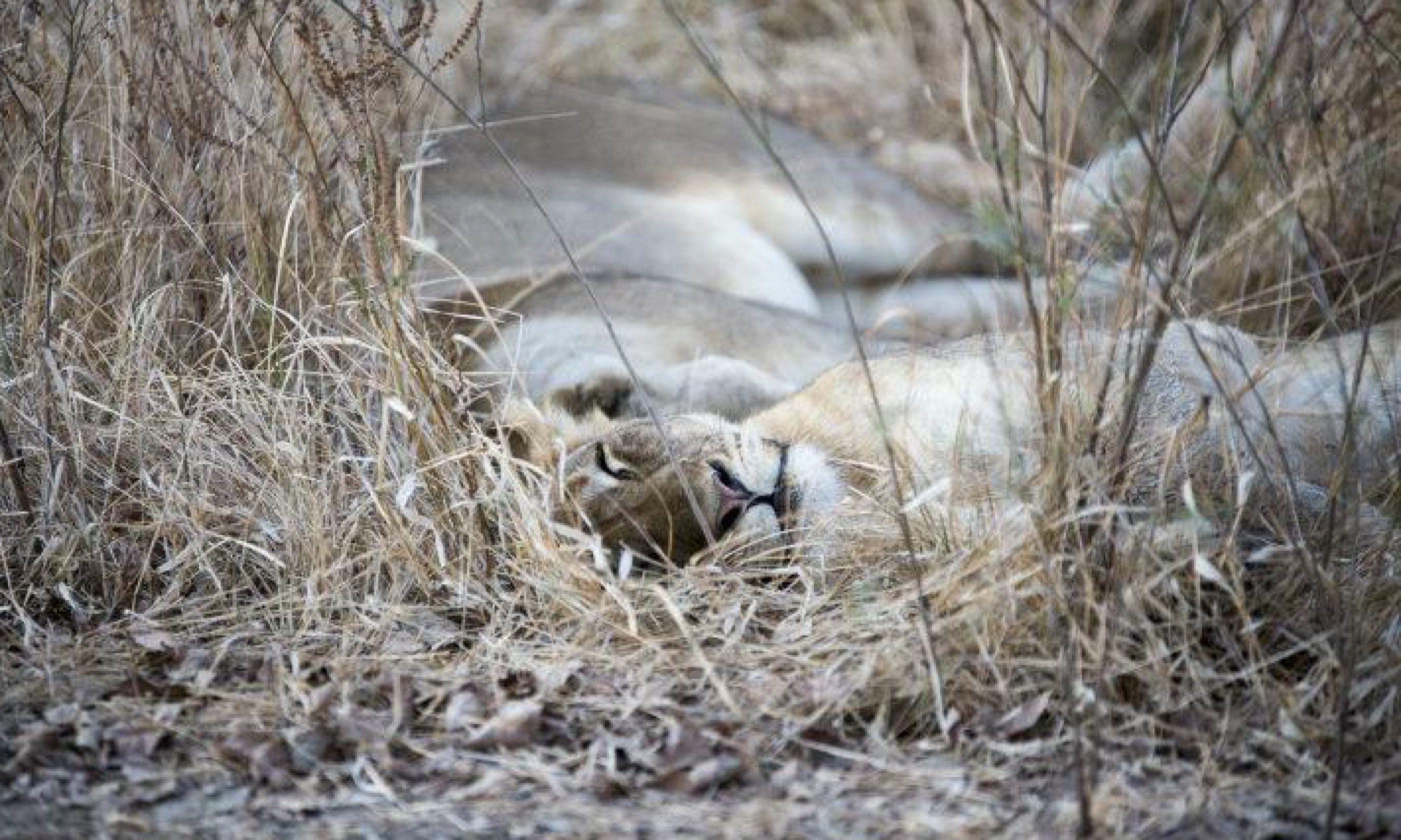 A sleepy lioness (Edwina Cagol)