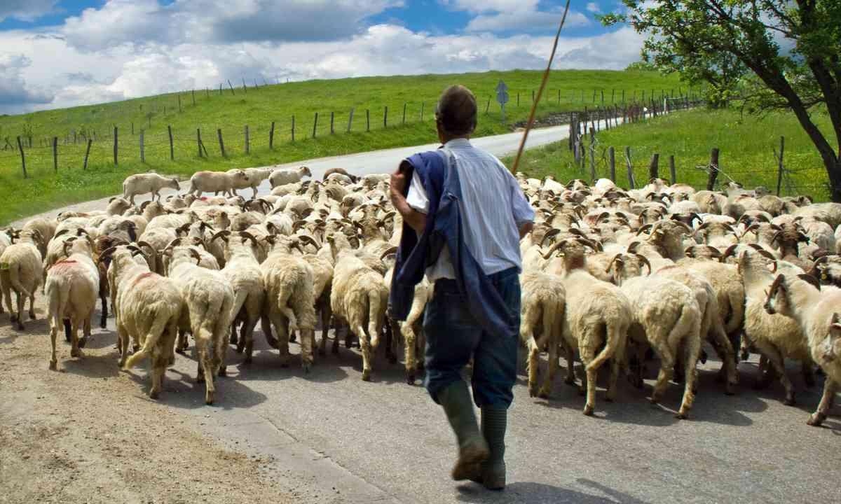 Romanian shepherd (Dreamstime)