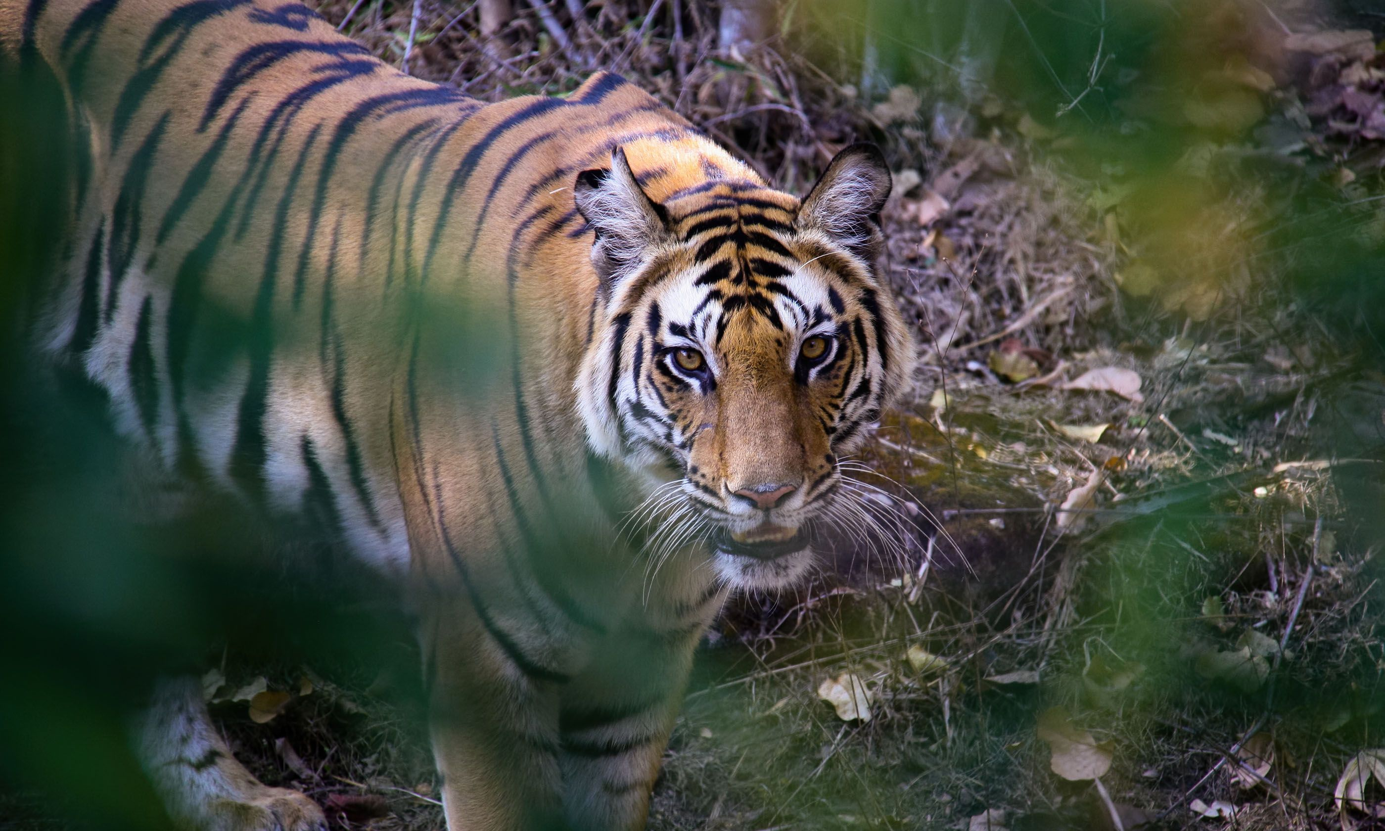Tiger in Bandhavgarh National Park, India (Dreamstime)