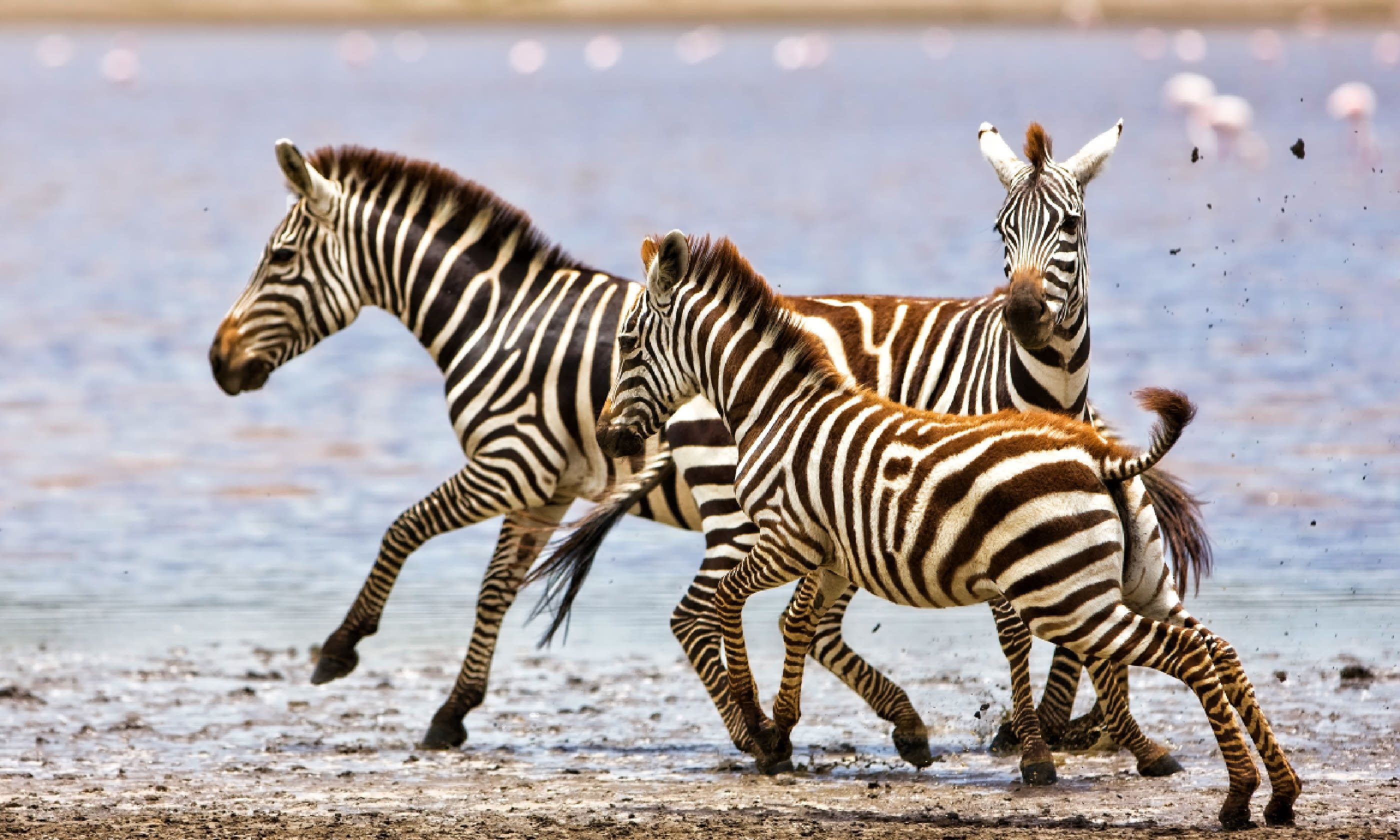 Zebras running beside Lake Ndutu in the Serengeti National Park (Shutterstock)