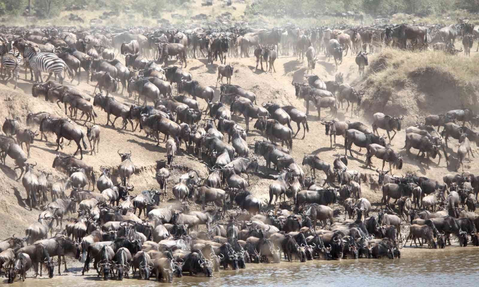 Wildebeest in the Masai Mara (Shutterstock)