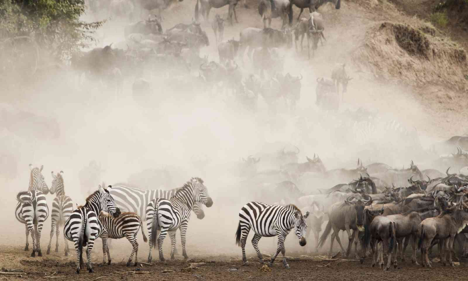 Zebra and Wildebeest crossing in the Masai Mara (Shutterstock)