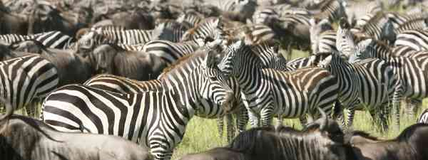 Zebra in the Great Migration (Shutterstock: see credit below)
