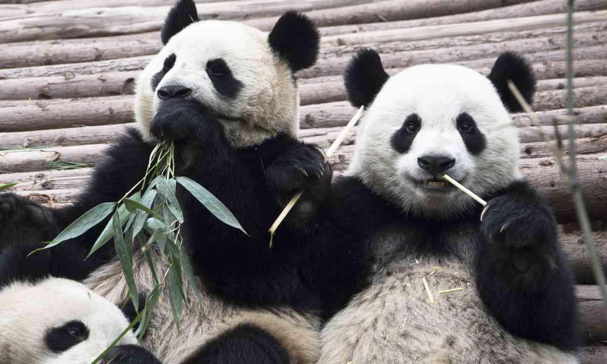 Giant pandas eating bamboo (Dreamstime)