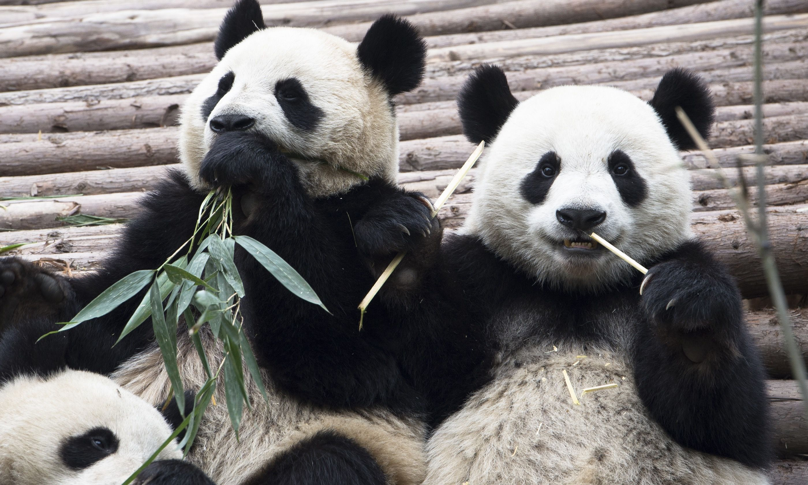 Giant pandas eating bamboo (Dreamstime)