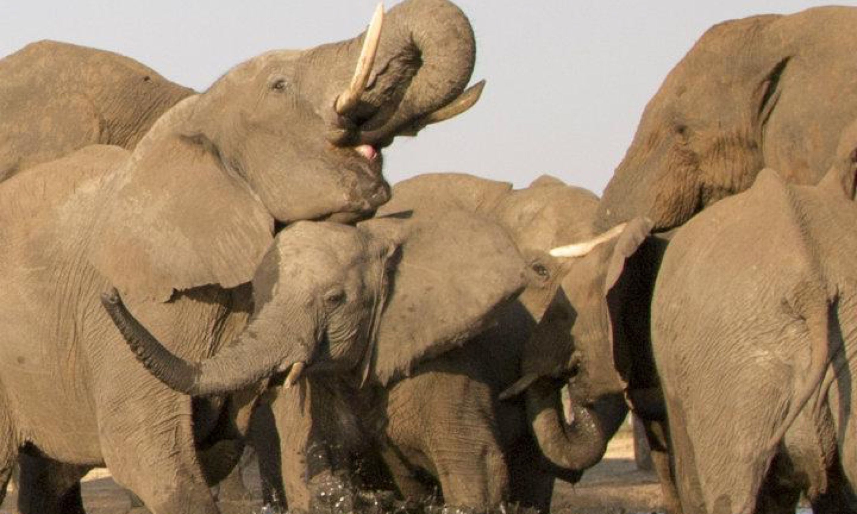 Elephants (Edwina Cagol)