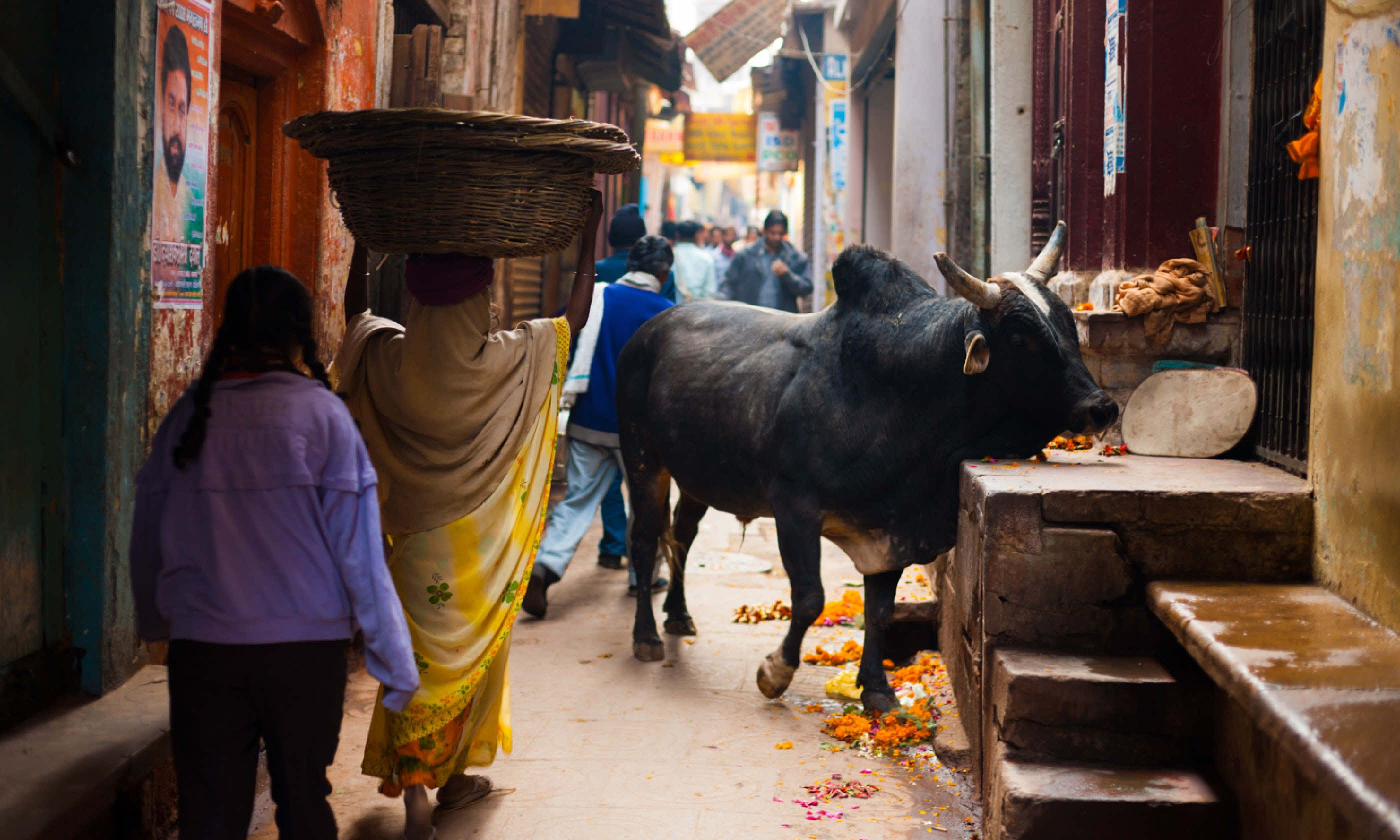 A holy black cow blocks a narrow alley (Shutterstock)