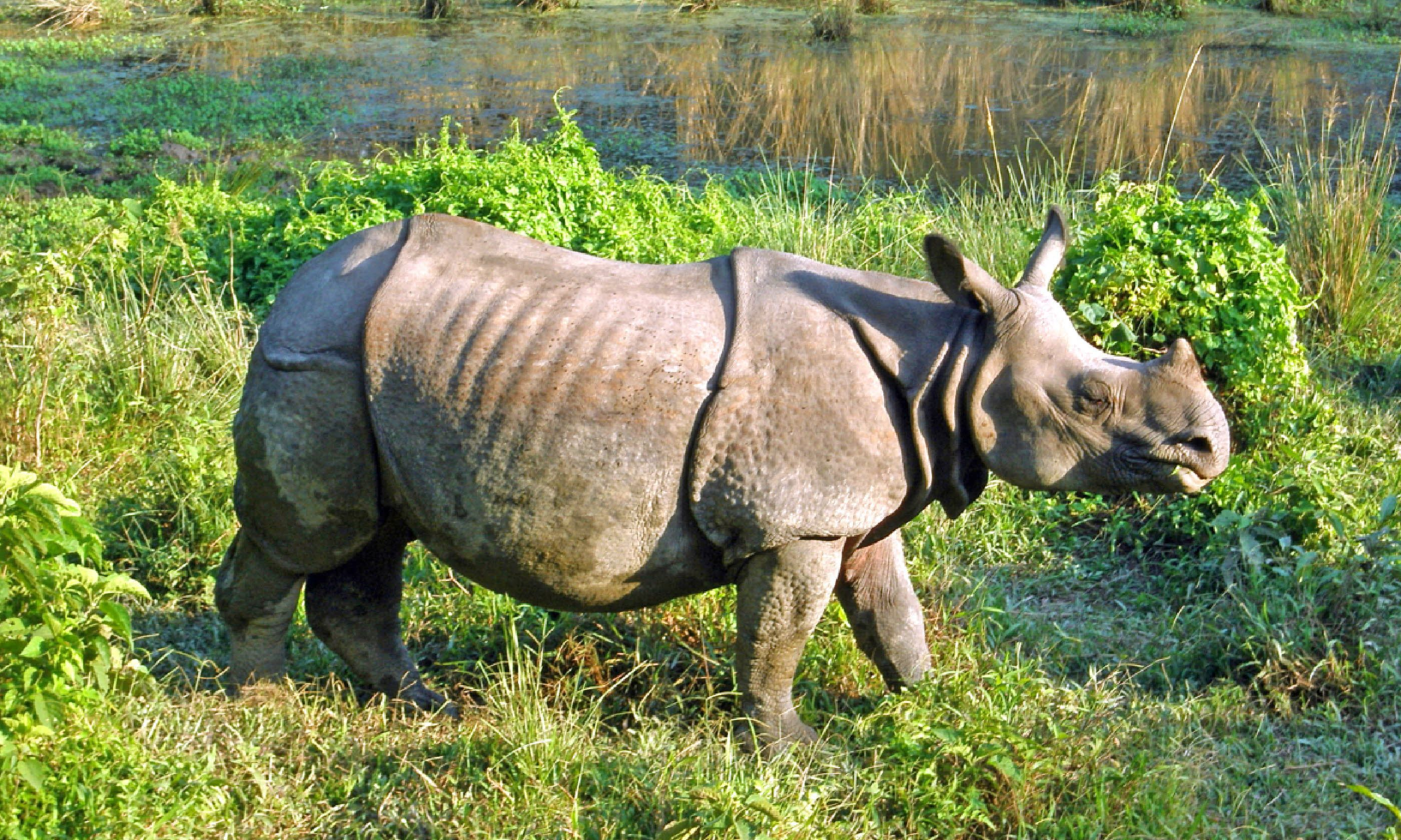 Indian one horned rhinoceros (Shutterstock)