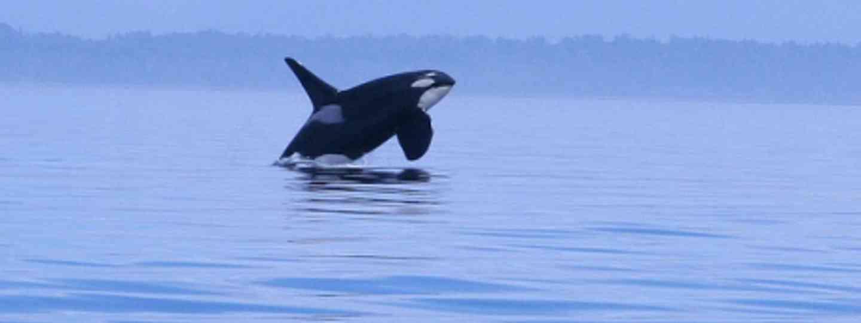 Orca (Kim Navarre)