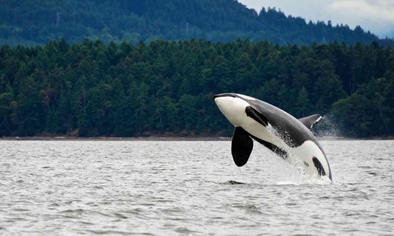 Orca whale breaching in Canada (Shutterstock)