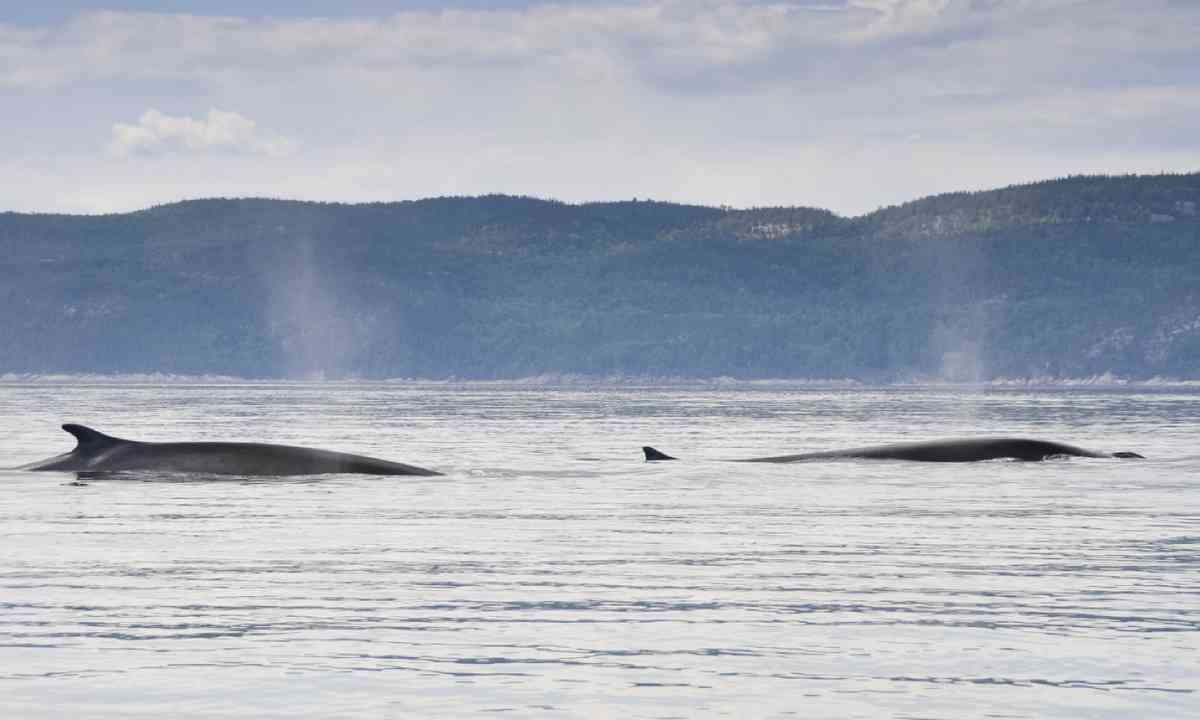Fin whales, St Lawrence River (Shutterstock)