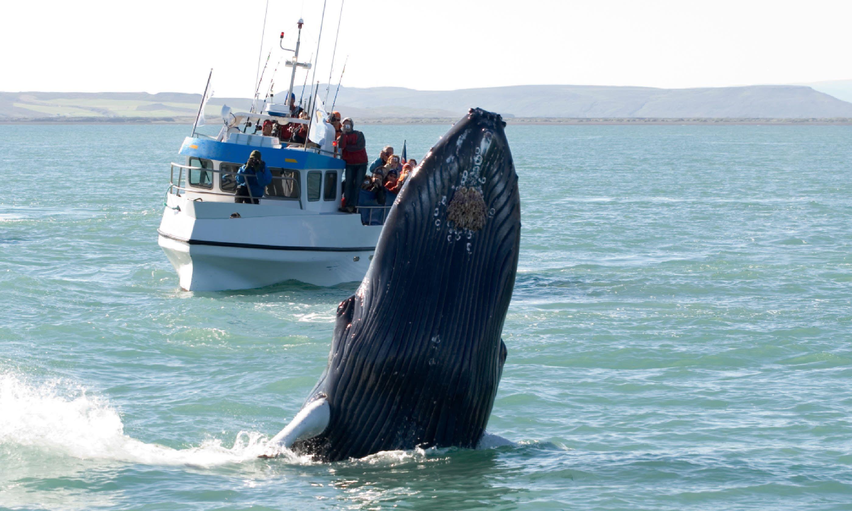 Whale near Husavik, Iceland (Shutterstock)