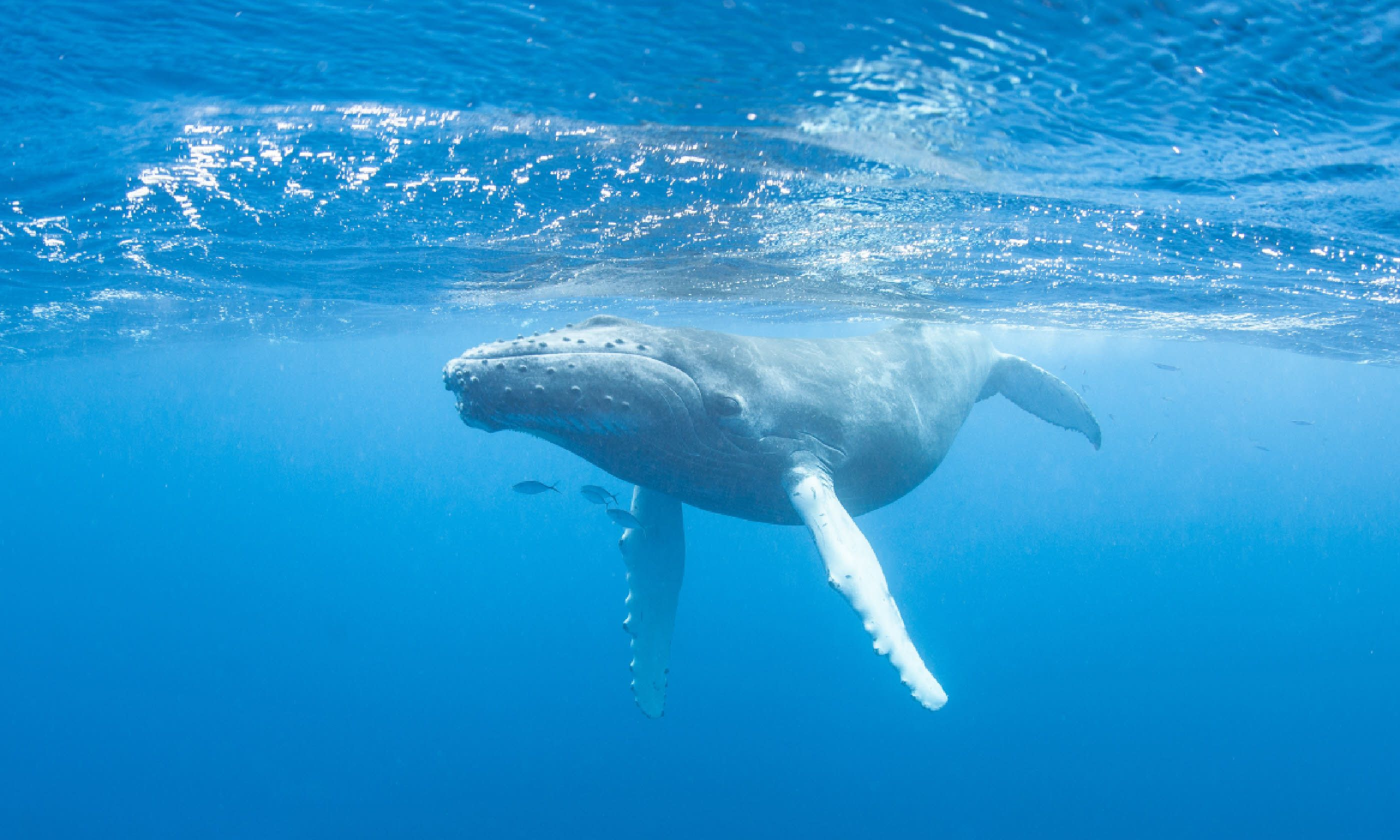 A young Humpback whale swims at the surface of the Caribbean Sea (Shutterstock)
