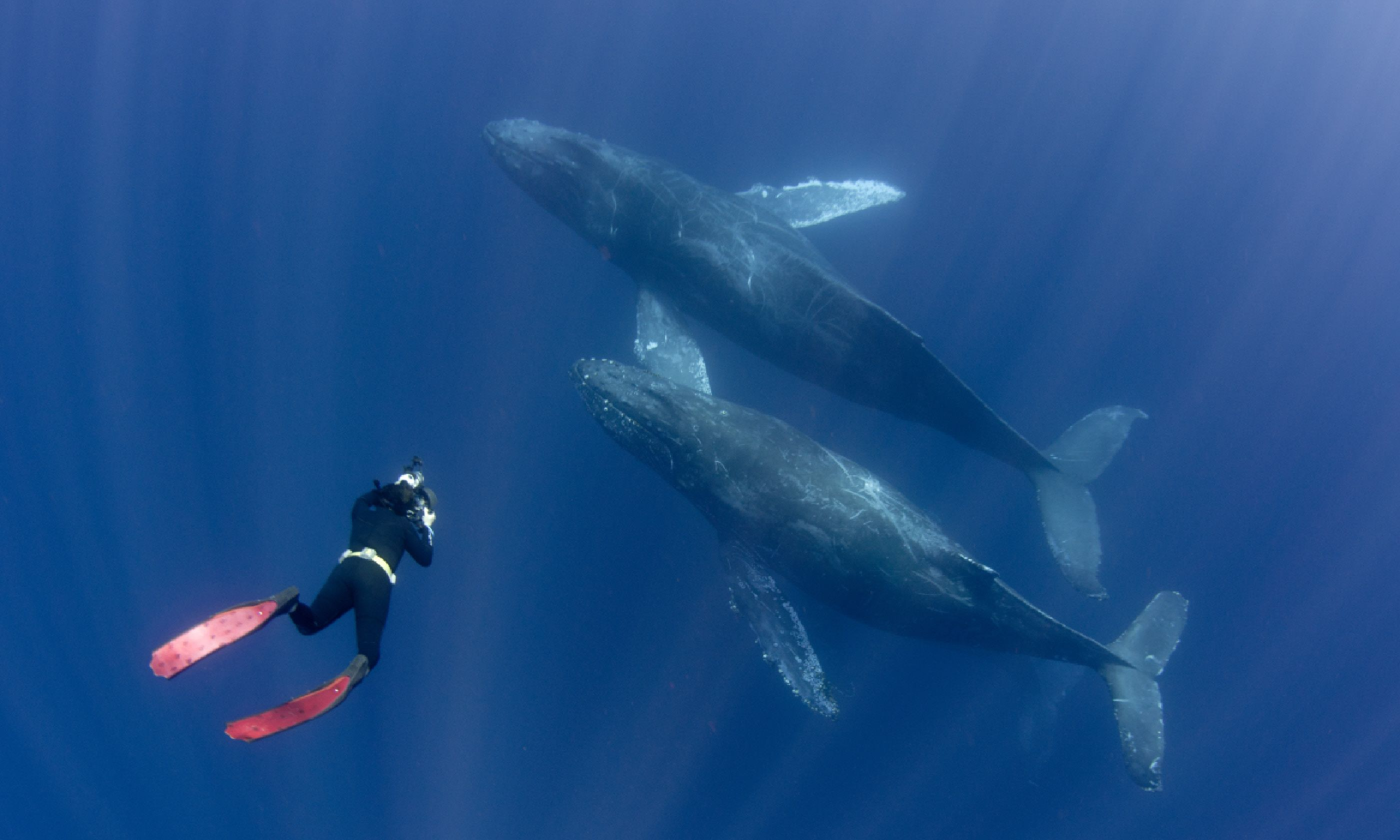 Freediver with humpback whales off Mexico's Baja peninsula (Shutterstock)