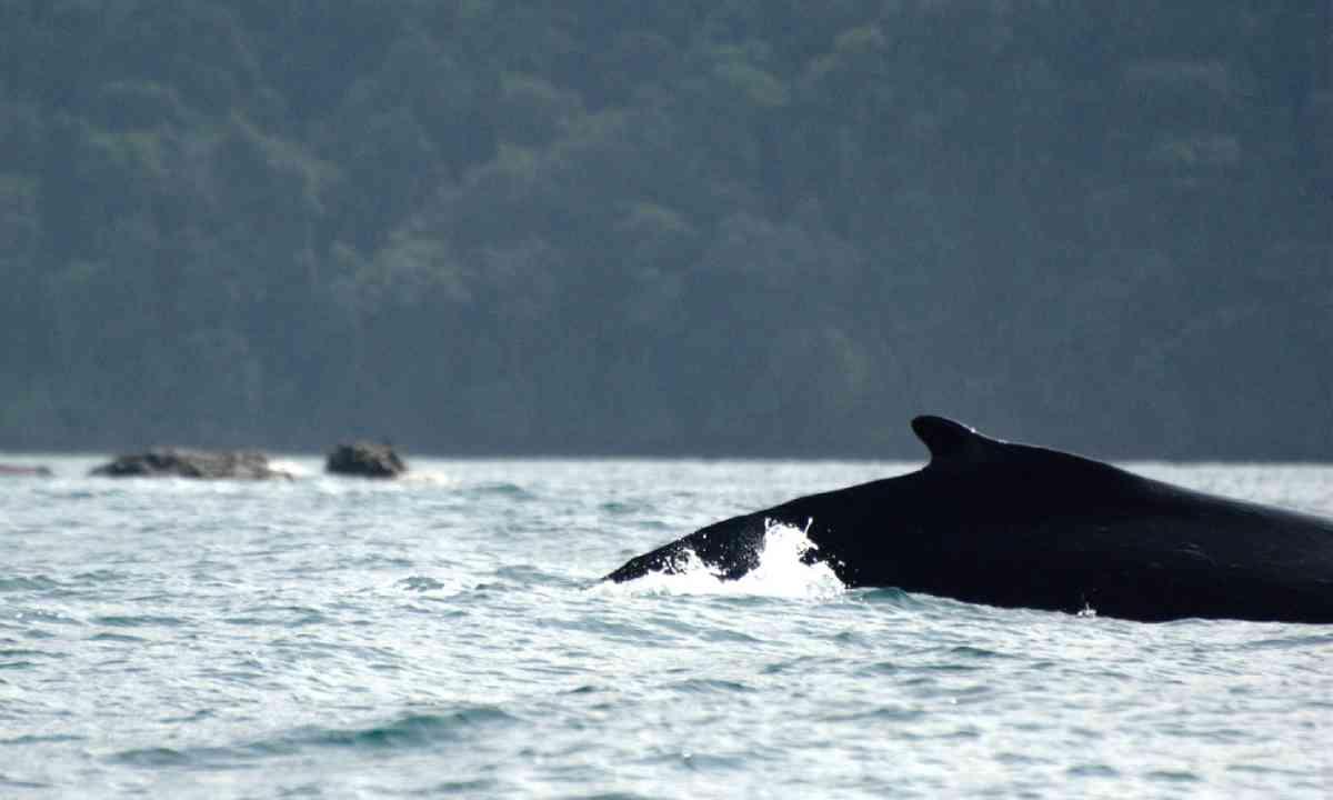 Whale in Utría National Park (Flickr: Creative Commons/Luis Alejandro Bernal Romero)