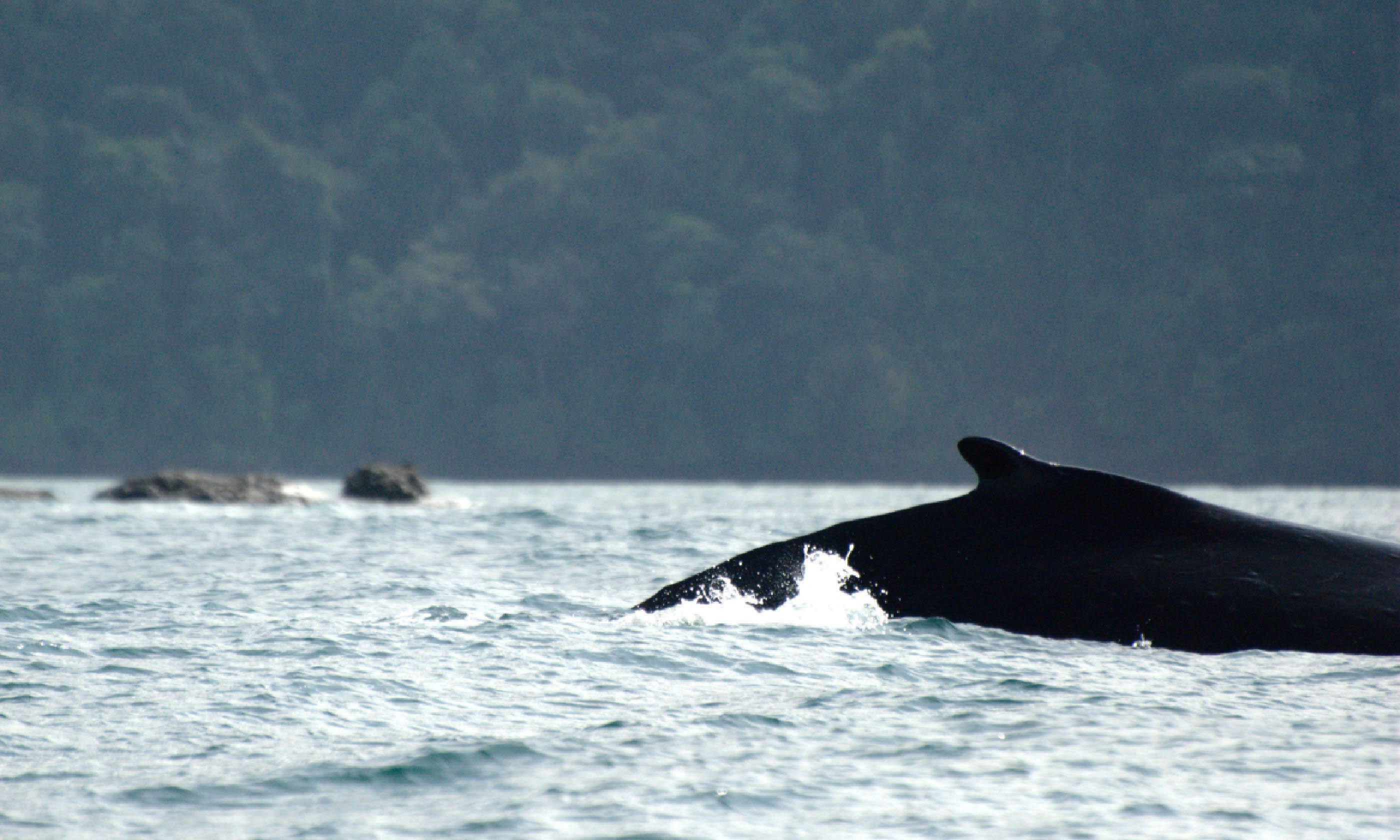 Whale in Utría National Park (Flickr: Creative Commons/Luis Alejandro Bernal Romero)