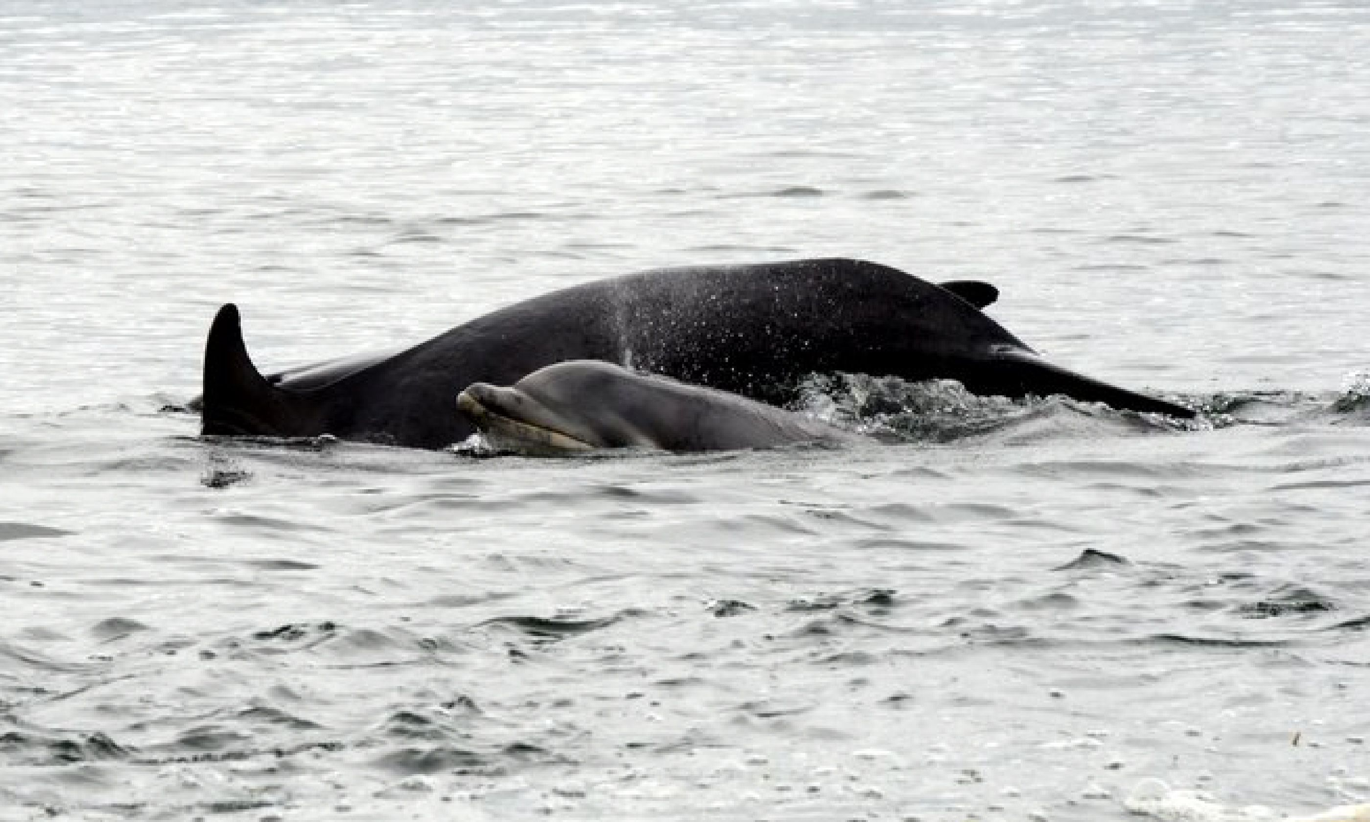 Whales in Chanonry Point, Fortrose, Scotland (Flickr: Creative Commons/Pete White)