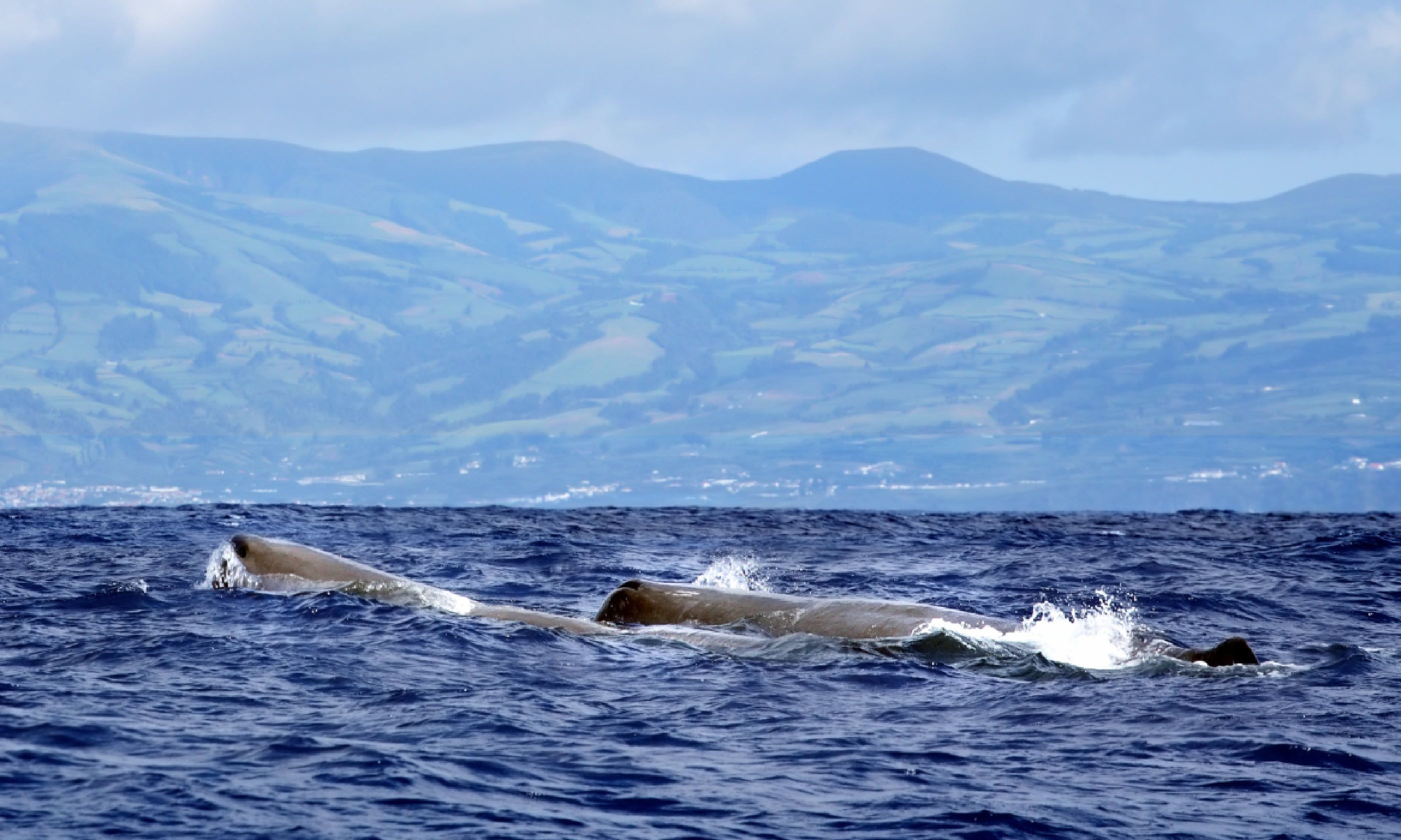 Sperm whales in the Azores (Shutterstock)
