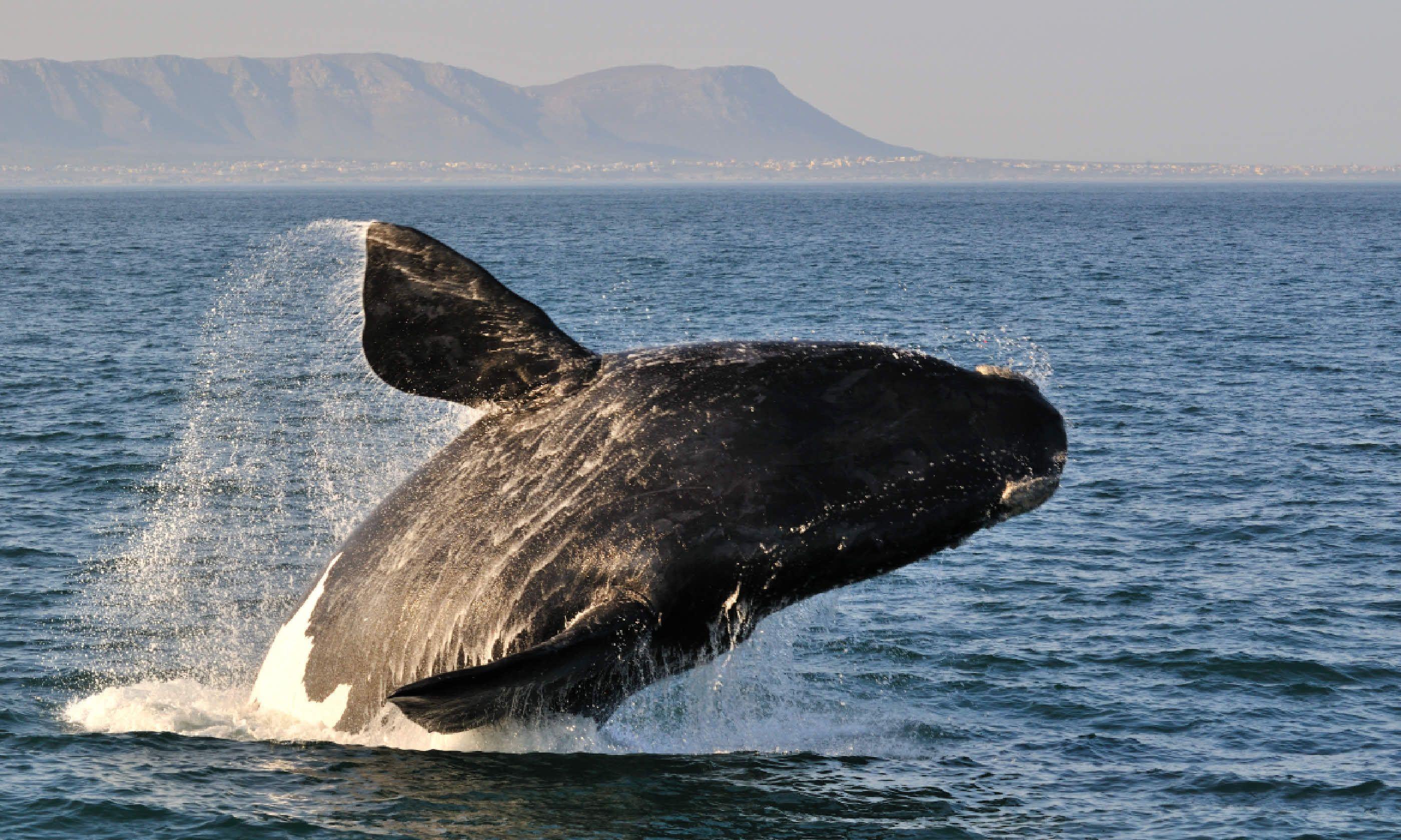 Whale breach in Hermanus, South Africa (Shutterstock)