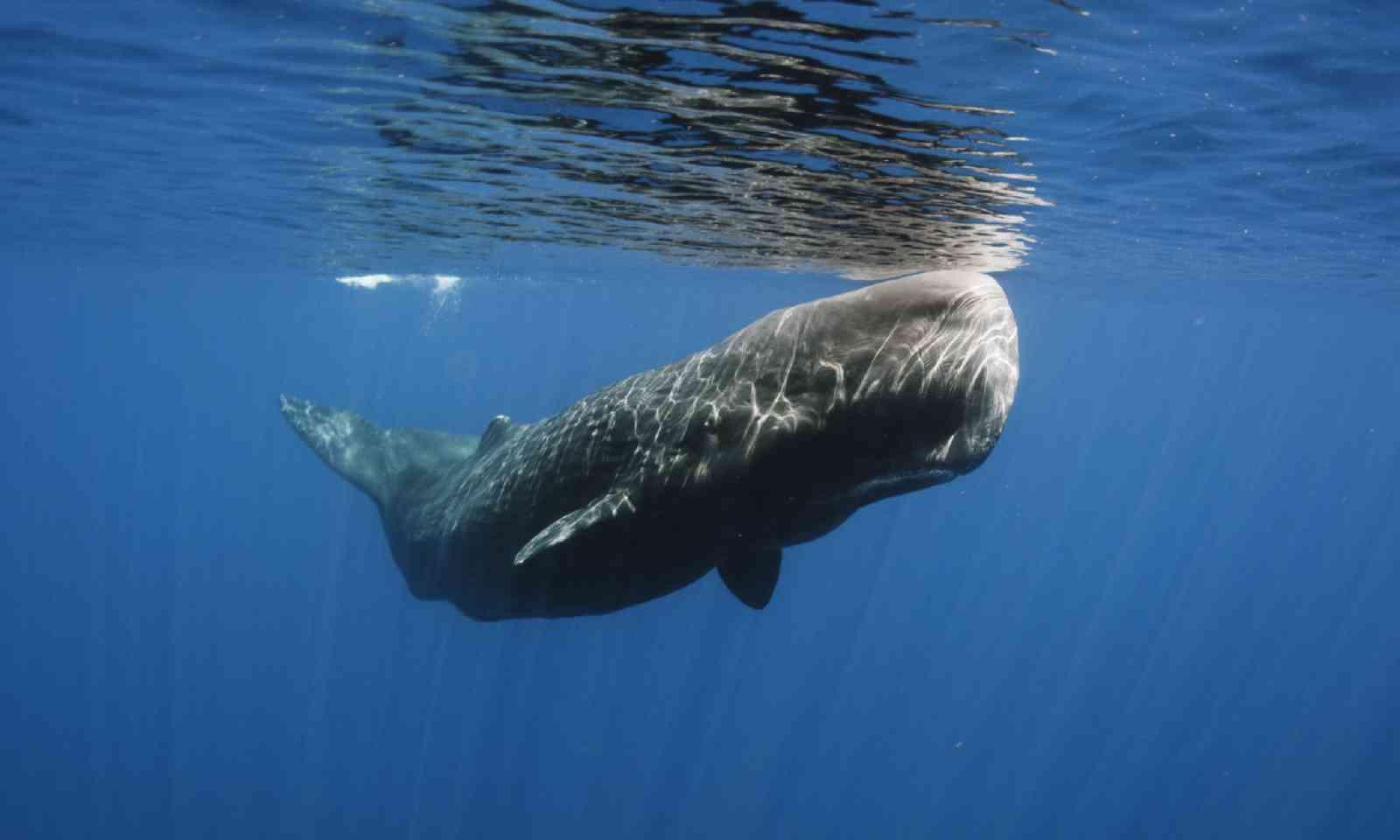 Sperm whale in Sri Lanka (Shutterstock)