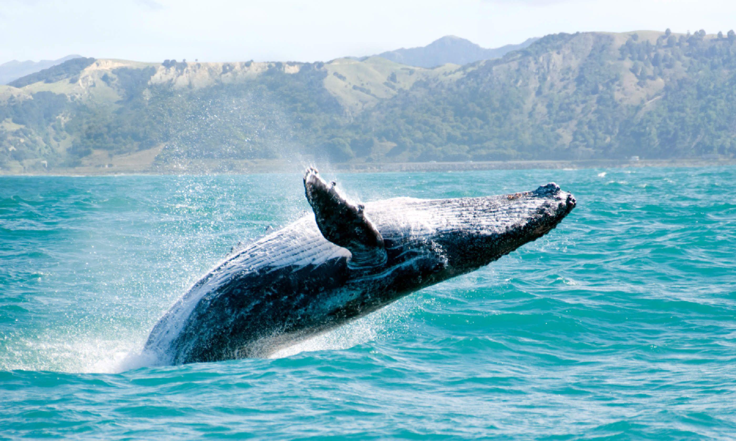 Humpback whale, New Zealand (Shutterstock)