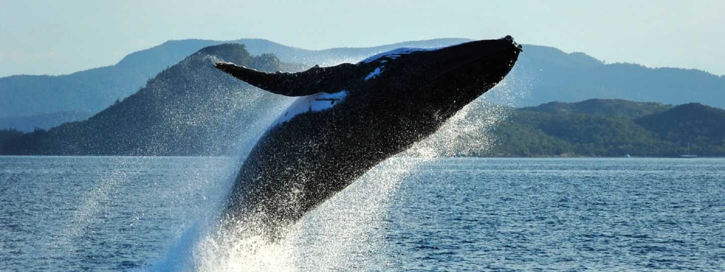 Humpback whale breaching (Shutterstock: see credit below)