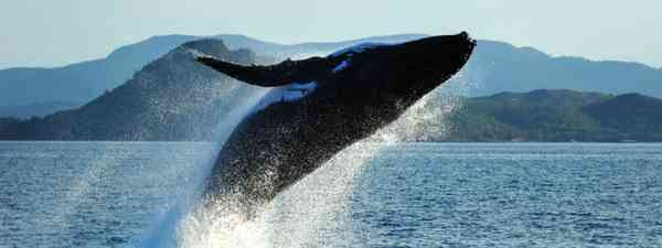 Humpback whale breaching (Shutterstock: see credit below)