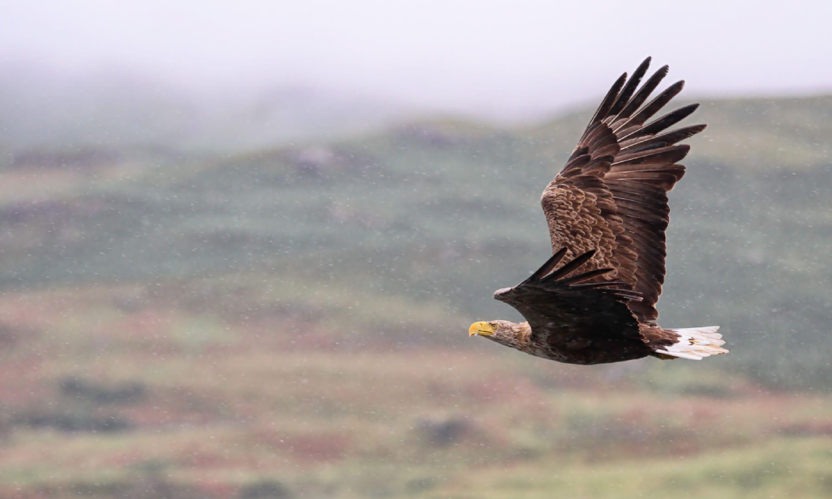 White-tailed Sea Eagle (Shutterstock)