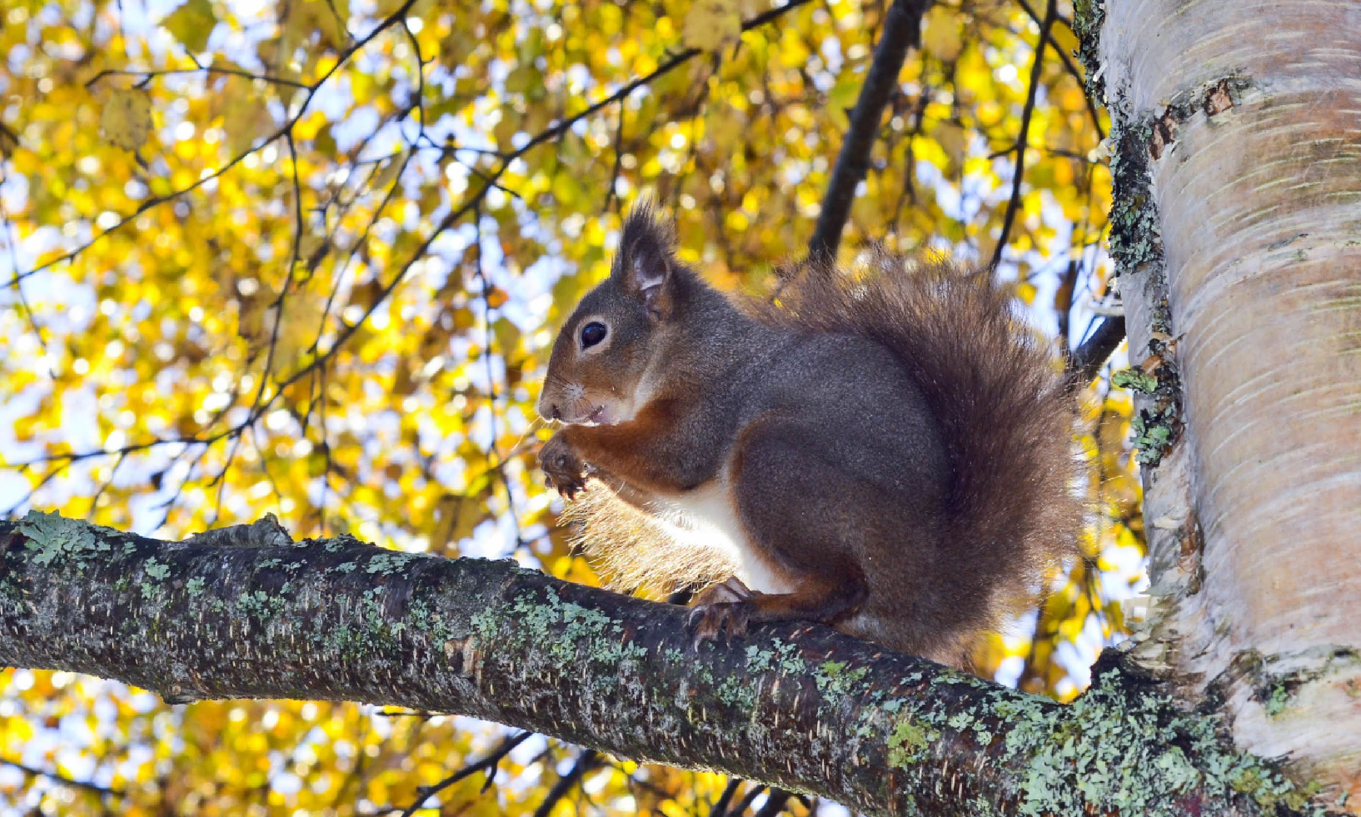 Red squirrel in Rothiemurchus Forest (Shutterstock)