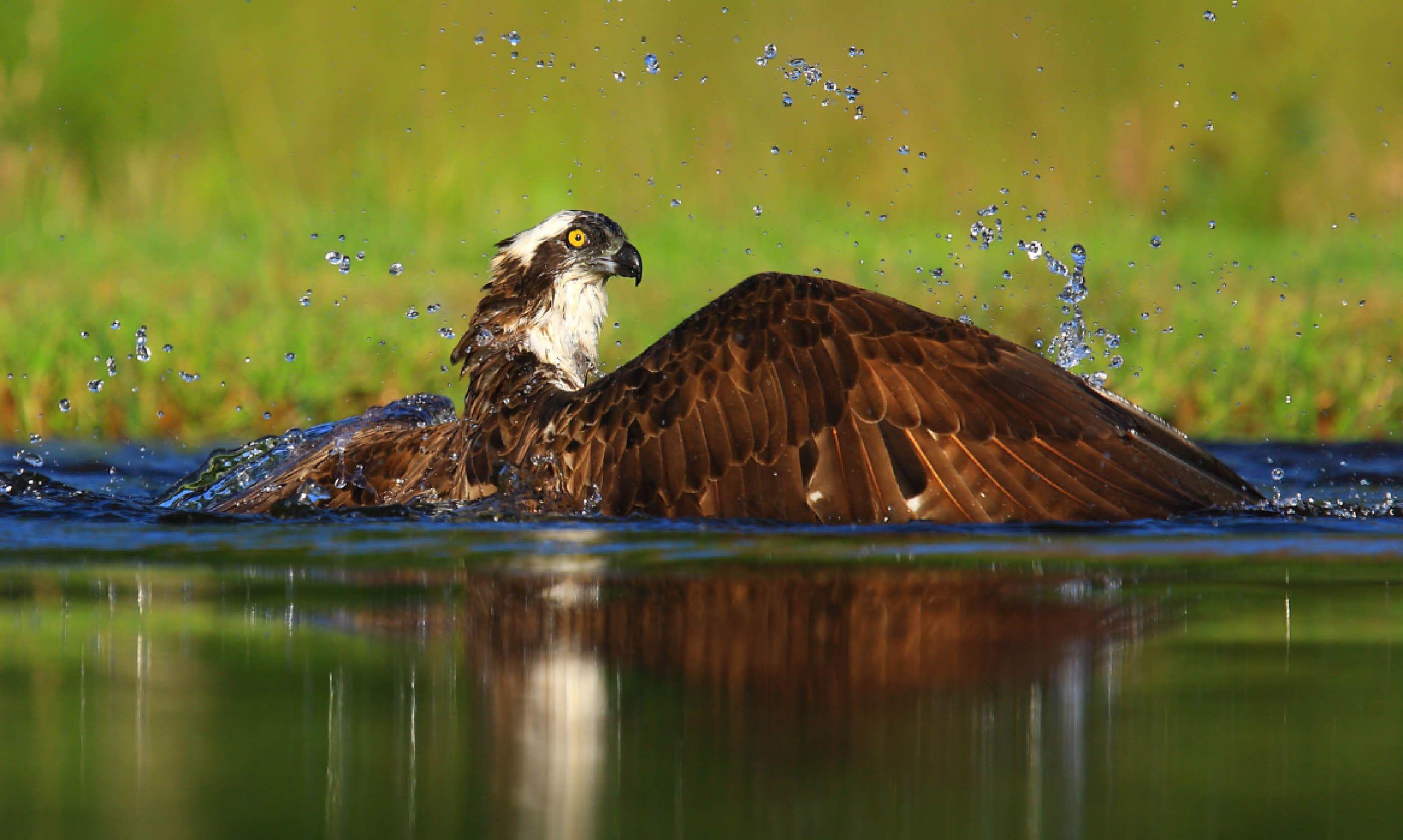 Osprey in Scotland (Shutterstock)
