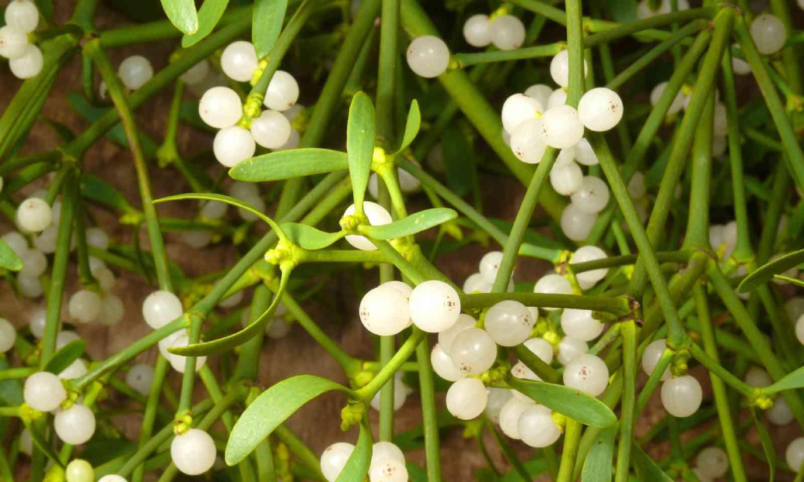 Mistletoe (Shutterstock)