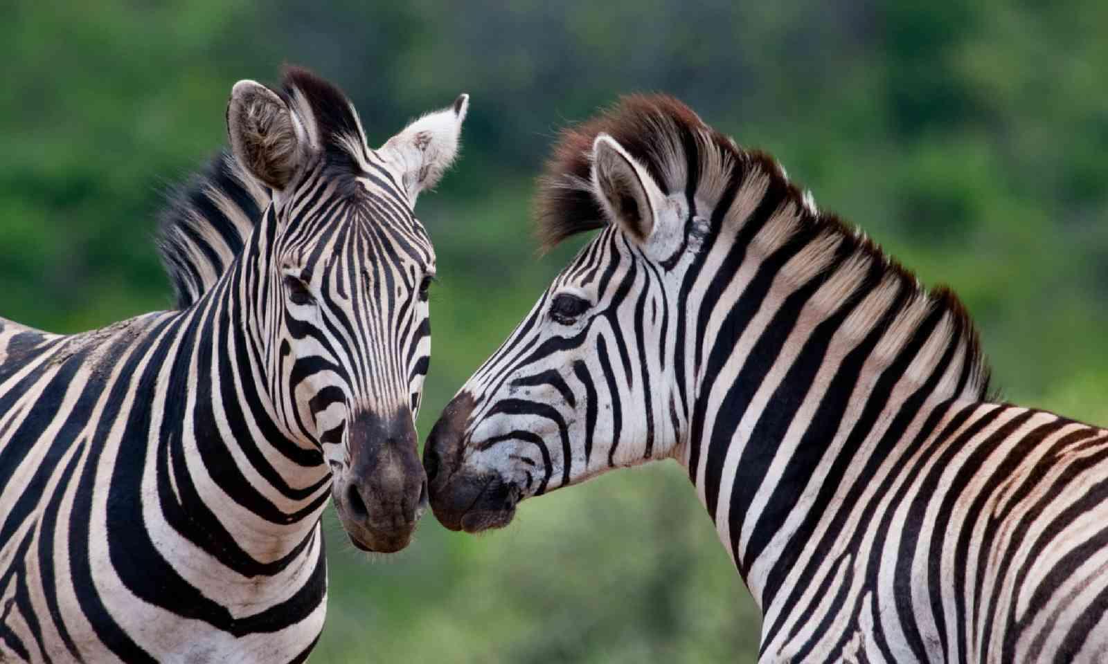Burchell's zebras in KwaZulu Natal (Shutterstock)