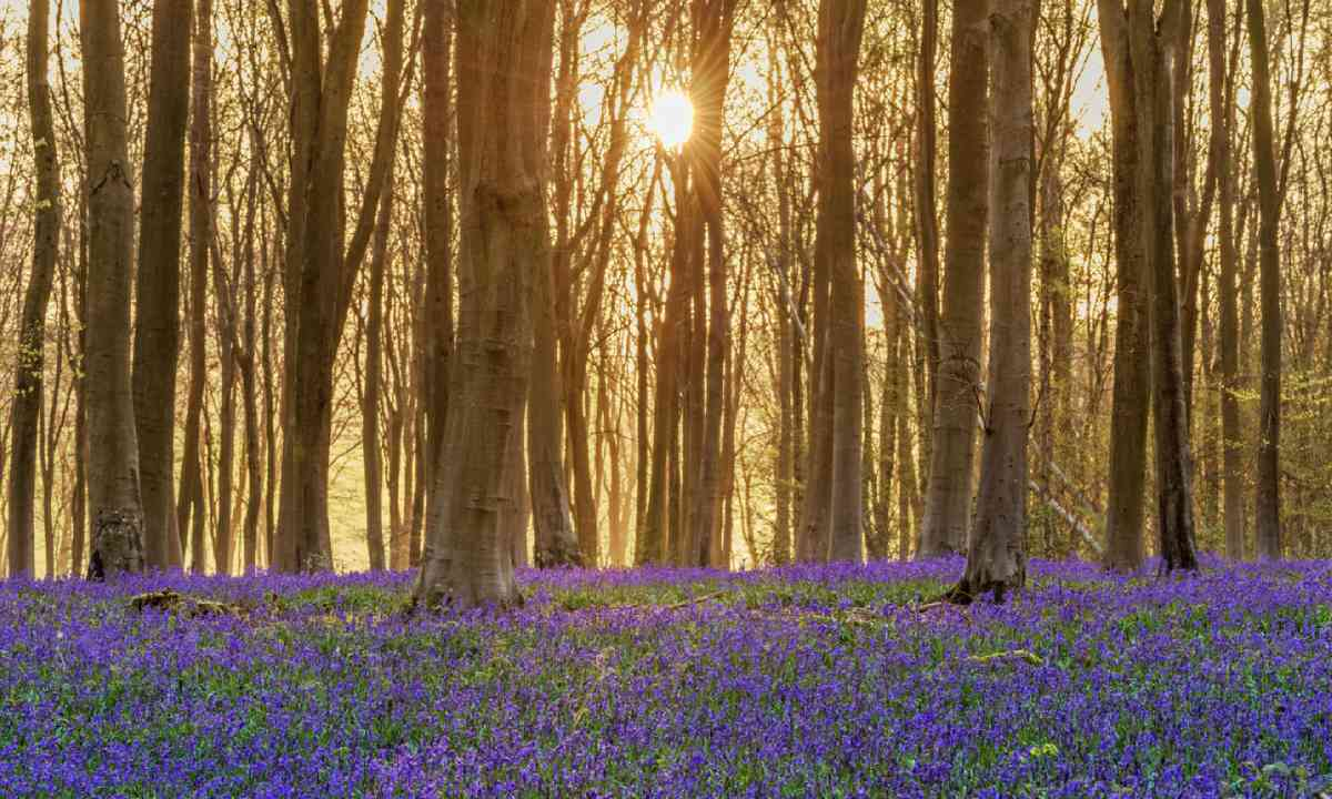 Bluebells in Hampshire, England (Shutterstock)