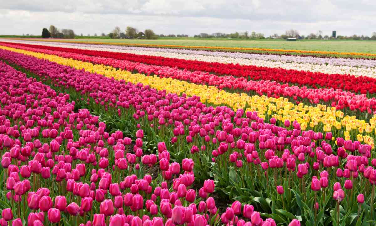 Tulips in the Netherlands (Shutterstock)