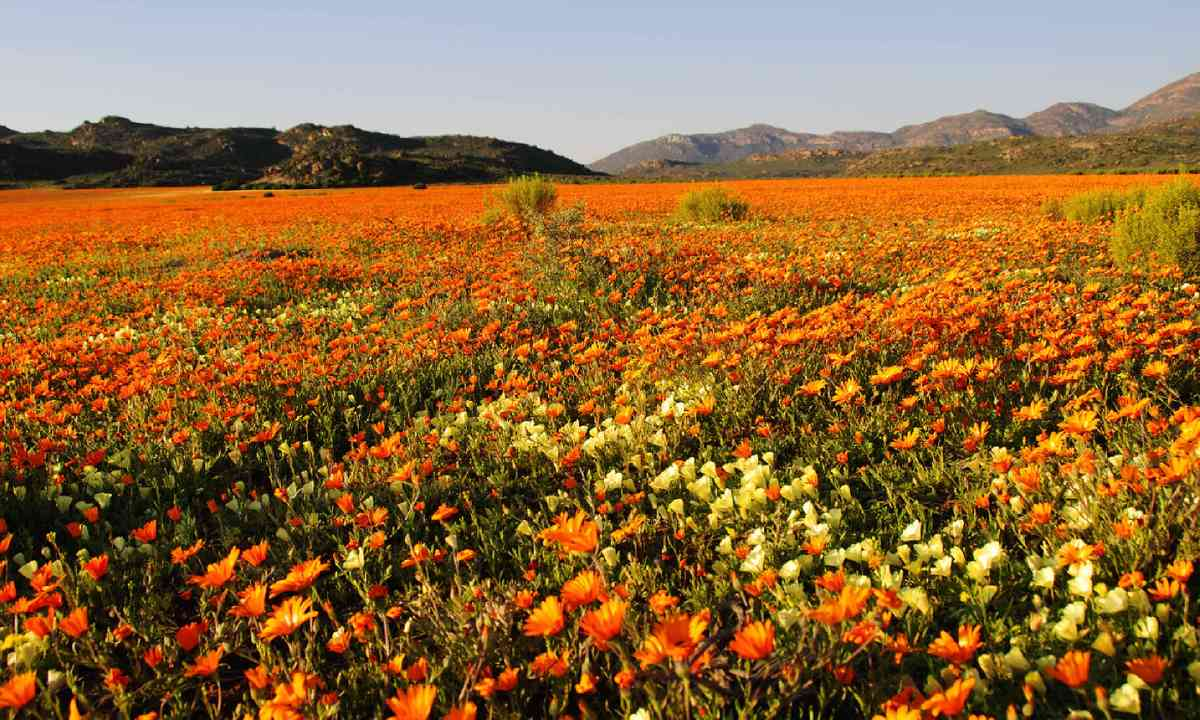 Field of flowers in Namaqualand, South Africa (Shutterstock)