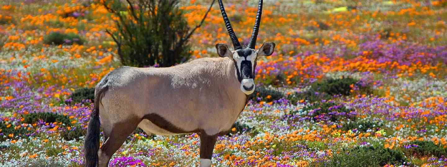 Oryx between flowers, Namaqualand, South Africa (Shutterstock: see credit below)
