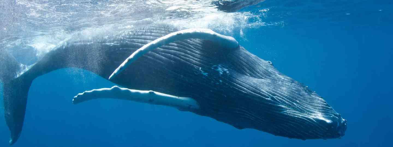 Humpback whale (Shutterstock: see credit below)