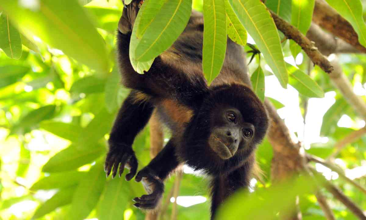 Howler Monkey, Pacific Coast, Costa Rica (Shutterstock)