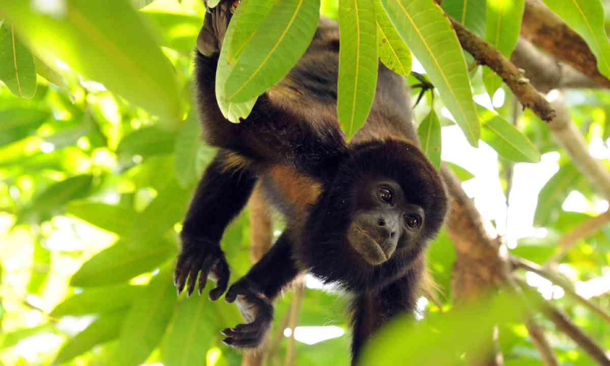 Howler Monkey, Pacific Coast, Costa Rica (Shutterstock)