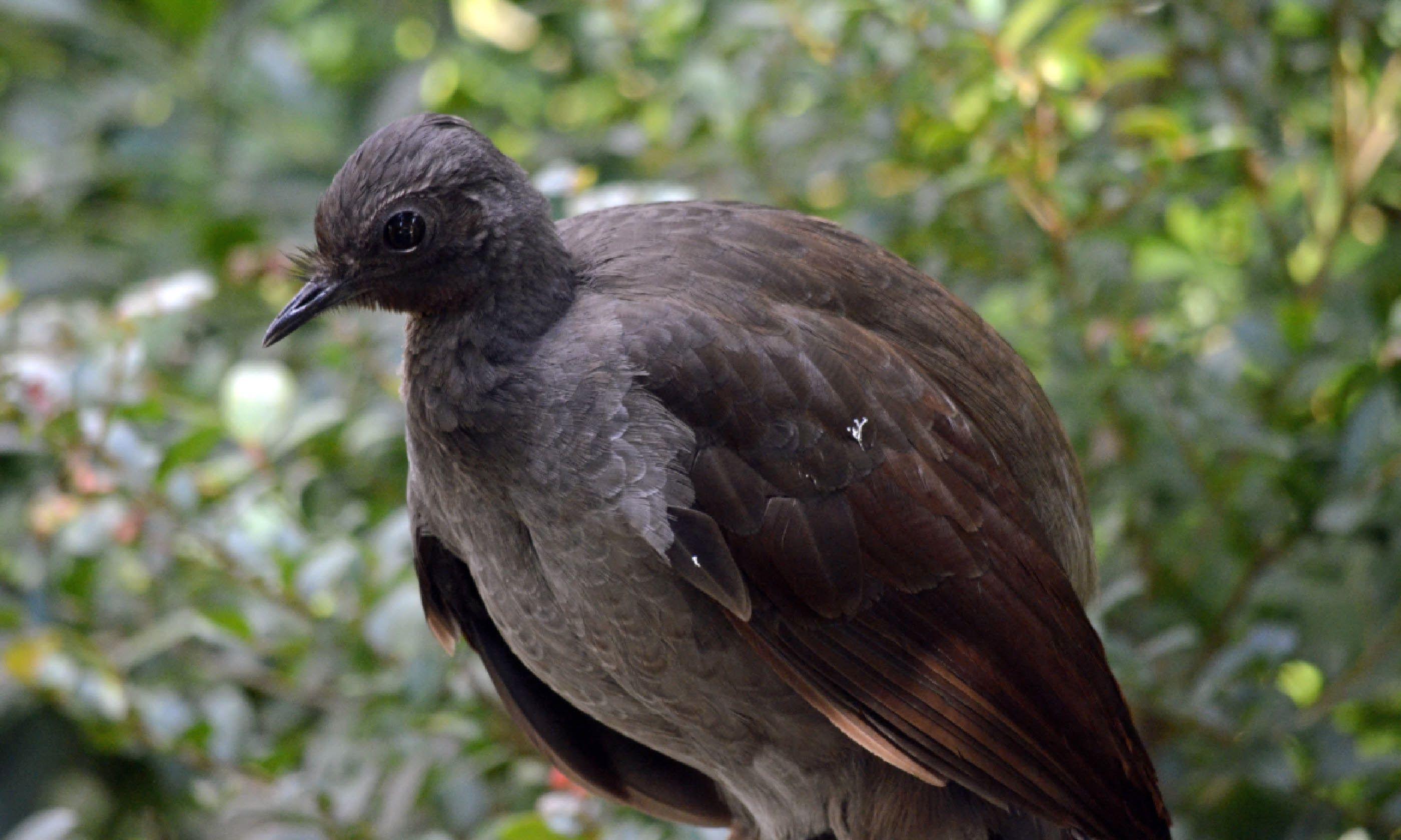 Lyre bird (Shutterstock)