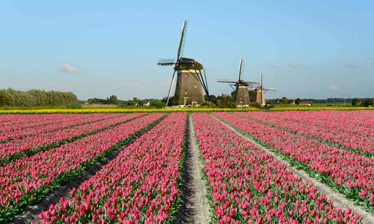 Field of red tulips and windmills in Holland (Shutterstock)