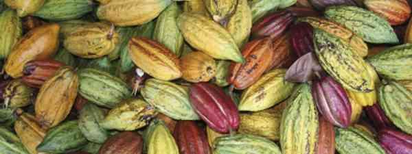 Freshly picked cocoa pods (Hotel Chocolat Ltd)