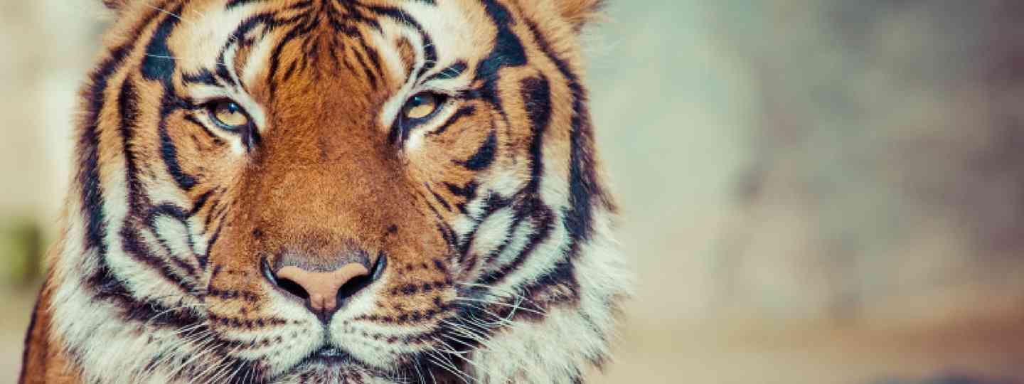 Close up of a tiger (Shutterstock: see below)